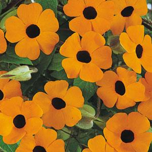 Black Eyed Susan Vine - Thunbergia Orange